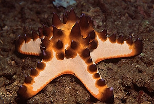 Chocolate Chip Starfish - Coloured M